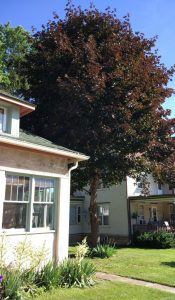 The tree that inspired Redleaf Consulting's name